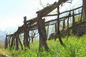 Topia pergola tipica dei terrazzamenti dell'Ossola