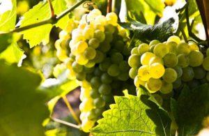 Grappolo uva Turbiana